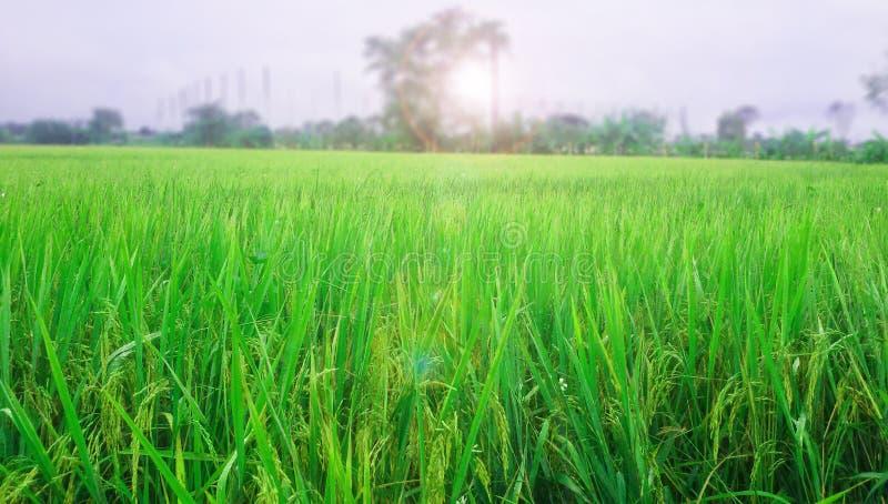 Granja del arroz por mañana fotografía de archivo