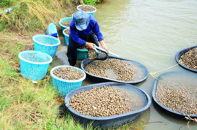 Granja del berberecho de la acuicultura de la gente tailandesa y cogida para la venta imagenes de archivo