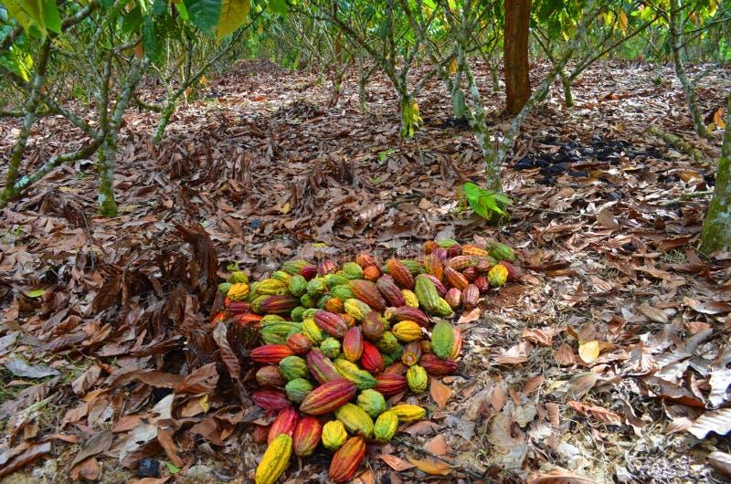 Granja del cacao, tiempo de cosecha imágenes de archivo libres de regalías