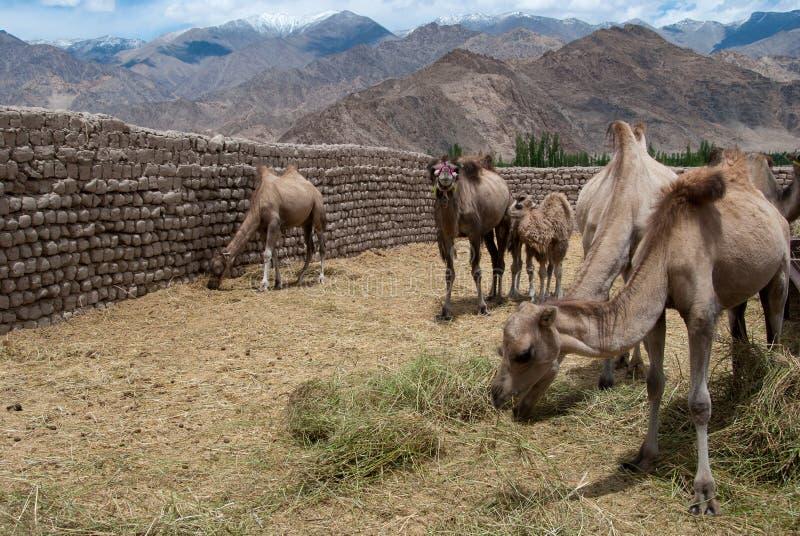 Granja del camello foto de archivo libre de regalías