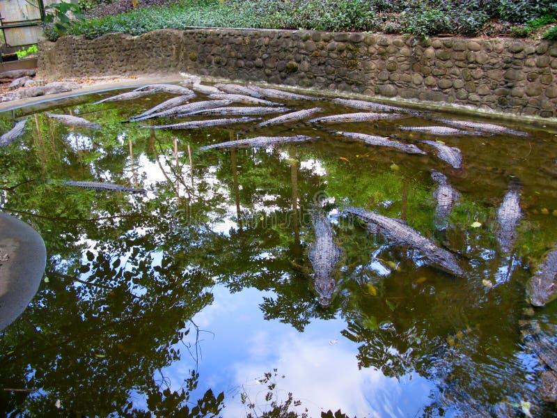 Granja del cocodrilo, safari de Zoobic, Subic Bay, Filipinas fotos de archivo