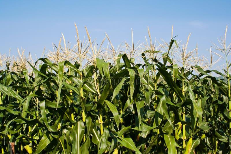 Granja del maíz de campo para el ganado que introduce imagenes de archivo