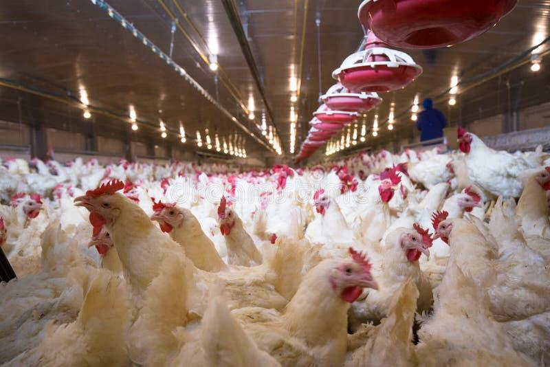 Granja del negocio del pollo de la granja avícola imágenes de archivo libres de regalías