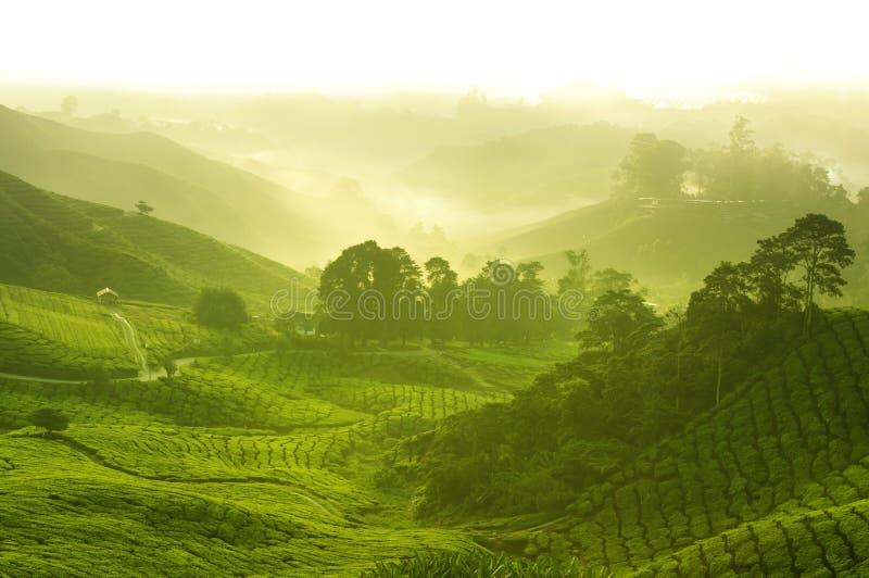 Granja del té imagen de archivo libre de regalías