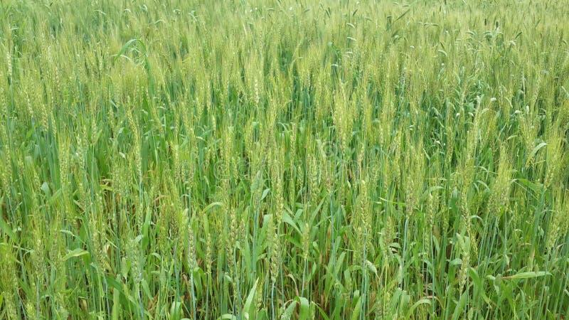 Granja del trigo, imágenes de archivo libres de regalías