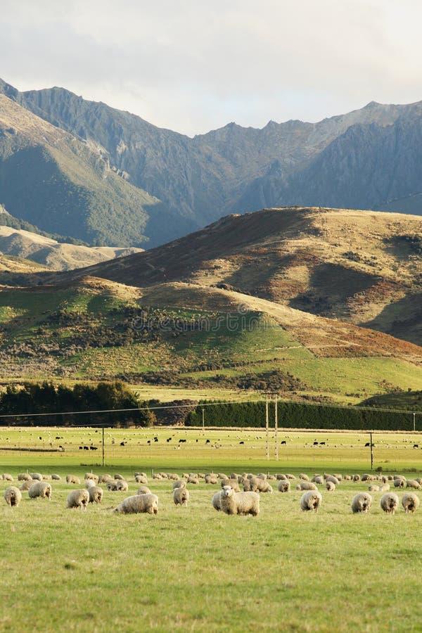 Granja hermosa de las ovejas imagen de archivo libre de regalías