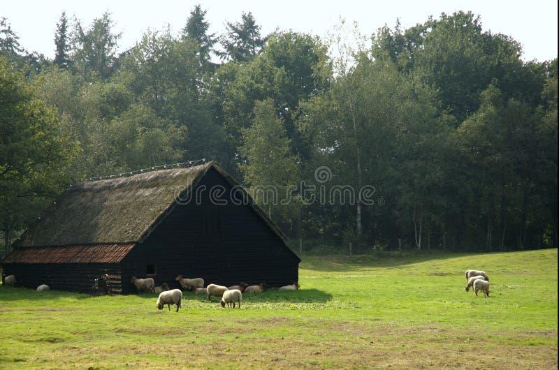 Granja holandesa vieja de las ovejas fotografía de archivo