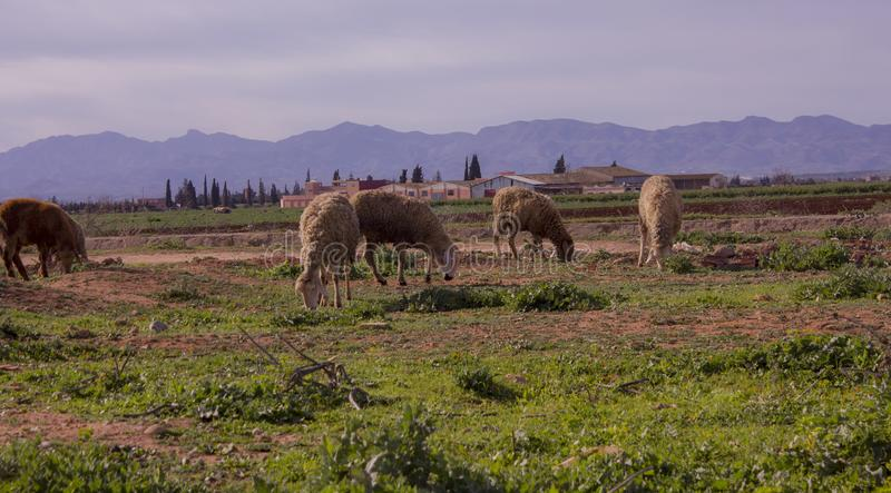 Granja lejana y ovejas cercanas imagen de archivo