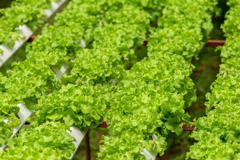 Granja org?nica con la verdura de la agricultura hidrop?nica la verdura org?nica es crecimiento de la agricultura del negocio foto de archivo libre de regalías