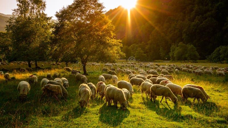 Granja rumana de las ovejas en la puesta del sol en las montañas de Transylvanian foto de archivo