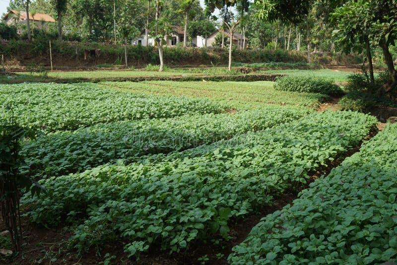 Granja tradicional del jardín de la espinaca en el Javenese Village_2 fotos de archivo