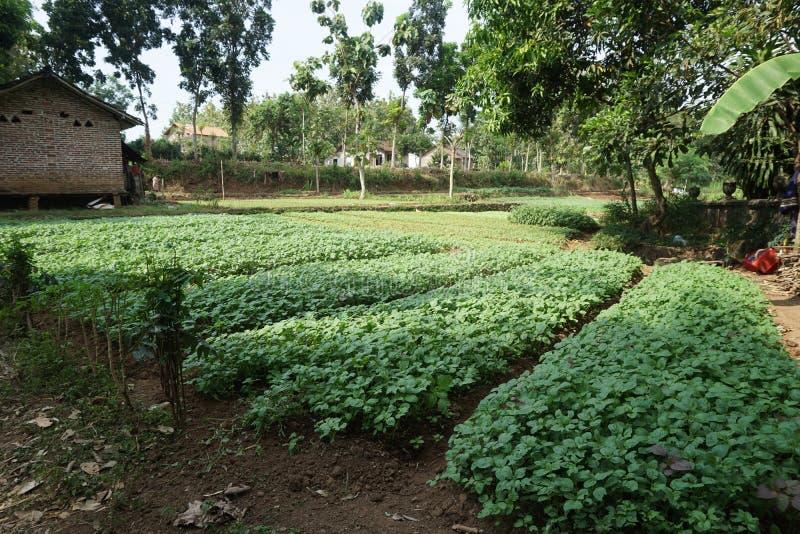 Granja tradicional del jardín de la espinaca en el Javenese Village_1 imagen de archivo