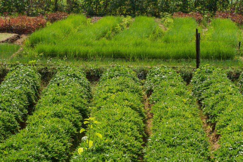 Granja vegetal Muchas patatas dulces y cebollas verdes fotos de archivo