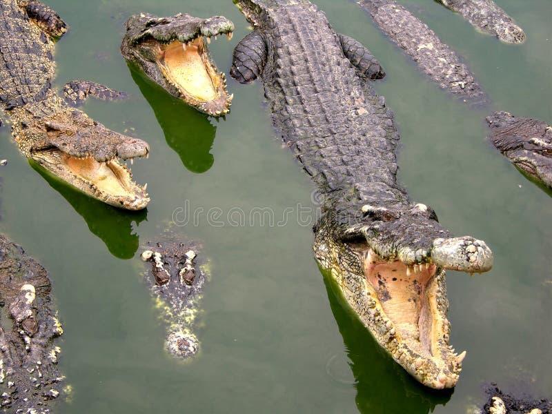 Granja y parque zoológico del cocodrilo de Samutprakan fotografía de archivo