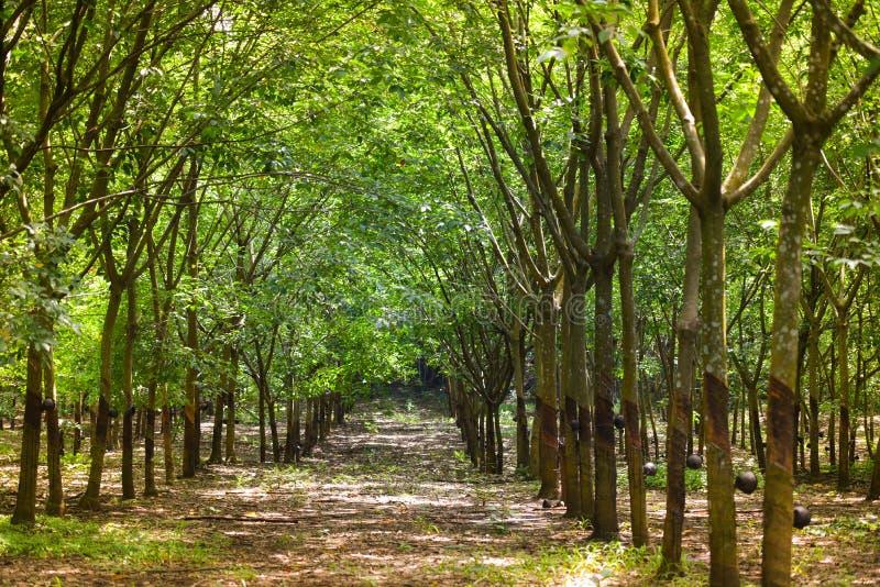 Granjas del caucho de los árboles de goma imágenes de archivo libres de regalías