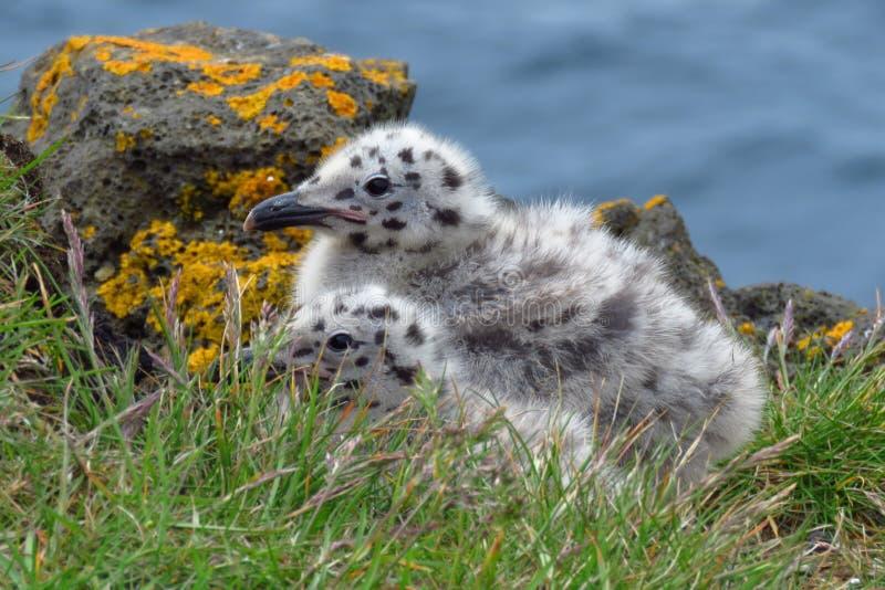 Granjeando a afeição de pintainhos da gaivota com o dorso negro, Islândia foto de stock