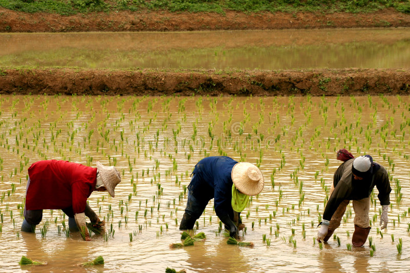 Granjero 3 del arroz fotos de archivo