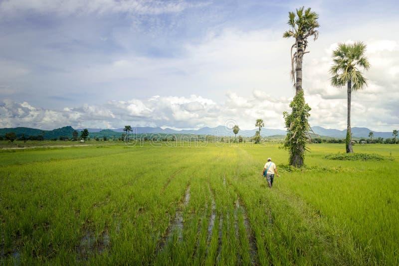 Granjero asiático que camina en campo del arroz foto de archivo