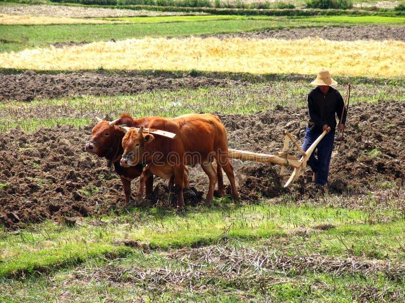 Granjero chino que ara un campo con una paleta y un arnés de madera de búfalos foto de archivo libre de regalías