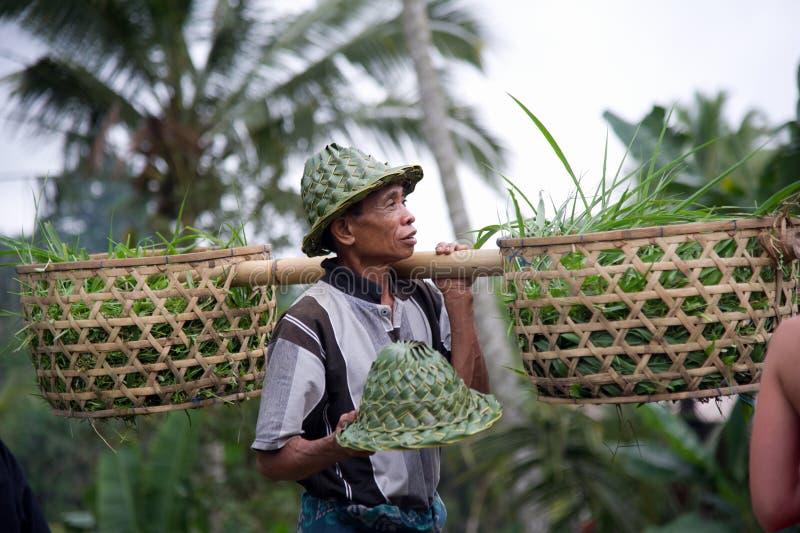 Granjero con la cesta llenada de los brotes del arroz imagenes de archivo