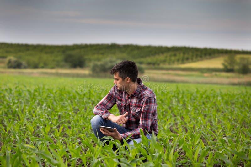 Granjero con la tableta en campo de maíz en primavera foto de archivo