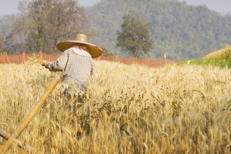 Granjero con trigo en manos Campo del trigo foto de archivo libre de regalías