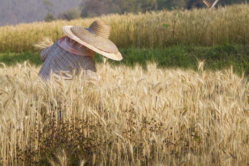 Granjero con trigo en manos Campo del trigo imagenes de archivo