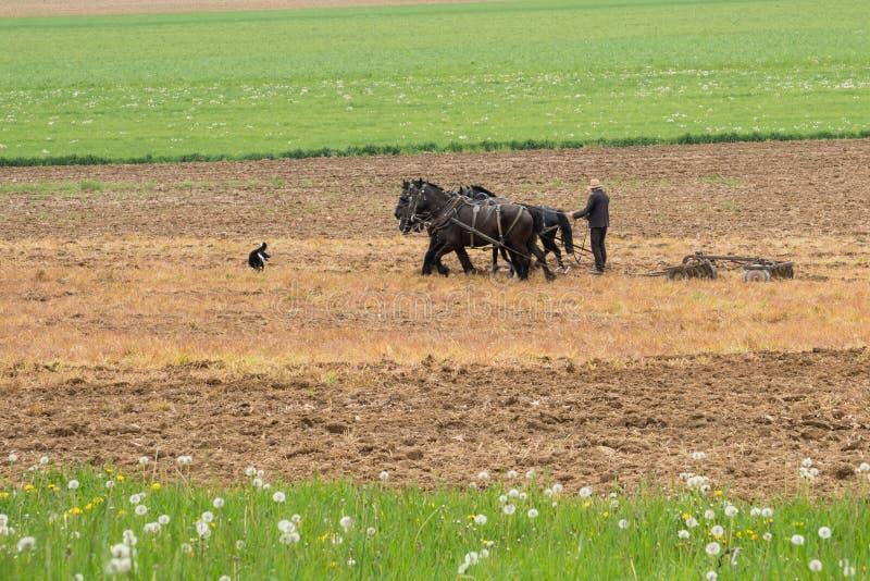 Granjero de Amish con los caballos imagenes de archivo