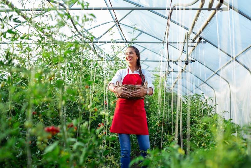 Granjero de la mujer con una caja de tomates en el invernadero fotografía de archivo