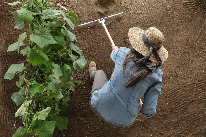 Granjero de la mujer que trabaja con el rastrillo en el huerto, rastrillando el s imagenes de archivo