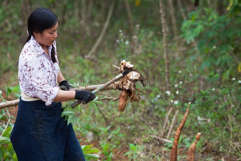 Granjero de sexo femenino asiático que cosecha la mandioca en el campo foto de archivo libre de regalías