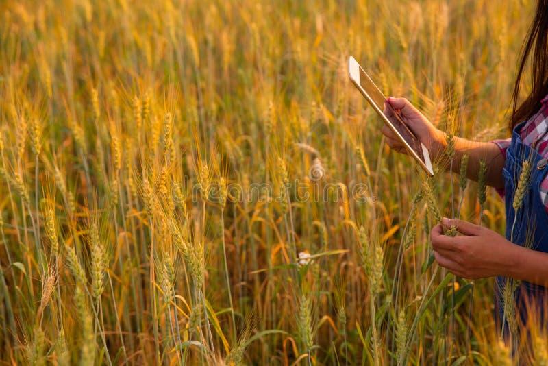 Granjero de sexo femenino que usa la tableta en el campo de la cosecha del trigo del oro, concepto de cultivo elegante moderno us fotografía de archivo