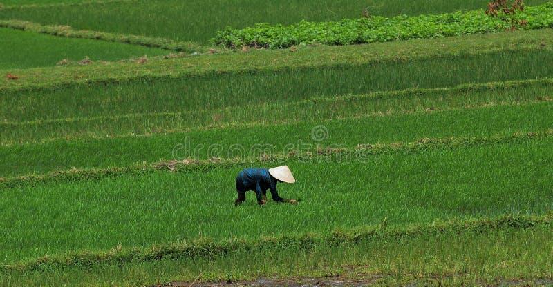 Granjero del arroz de Vietnam foto de archivo