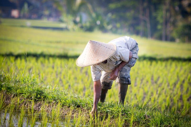 Granjero del arroz del Balinese foto de archivo libre de regalías