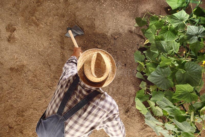 Granjero del hombre que trabaja con la azada en el huerto, azadonando el suelo cerca de una planta del pepino, plantilla del espa foto de archivo libre de regalías