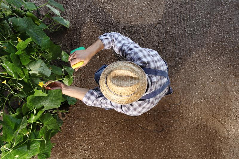 Granjero del hombre que trabaja en el huerto, esprayes del pesticida en las plantas, plantilla del espacio de la copia de la visi foto de archivo