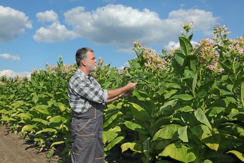Granjero en campo de tabaco imagen de archivo