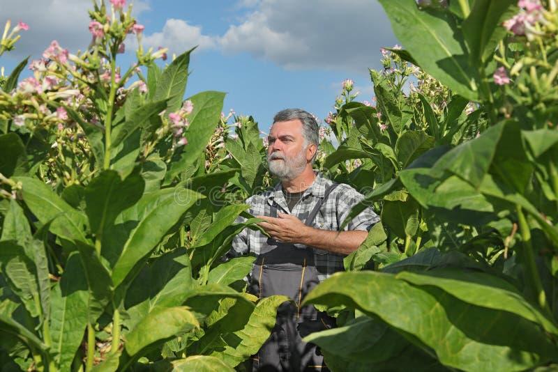 Granjero en campo de tabaco imagenes de archivo