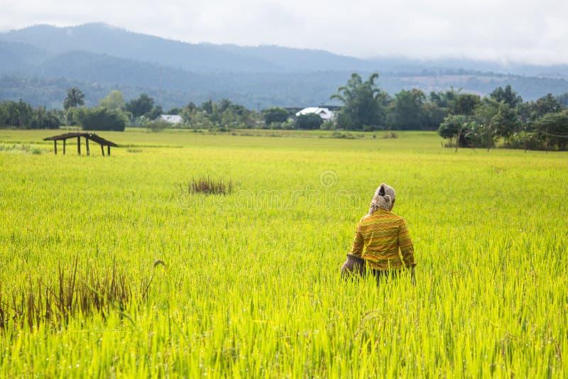 Granjero en campo del arroz fotografía de archivo