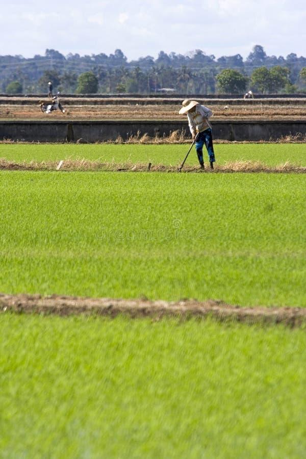 Granjero en el campo de arroz fotografía de archivo
