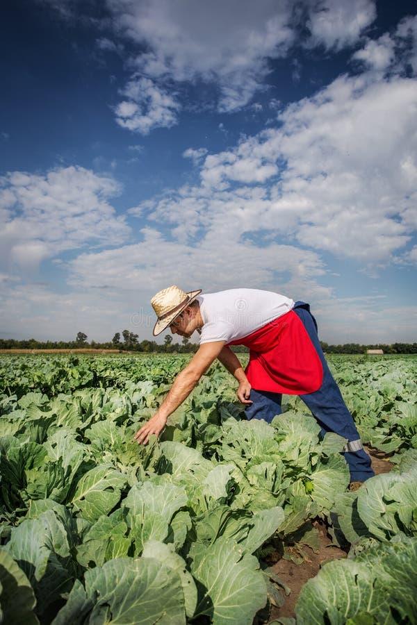 Granjero en el campo de la col con el cielo azul imagen de archivo libre de regalías