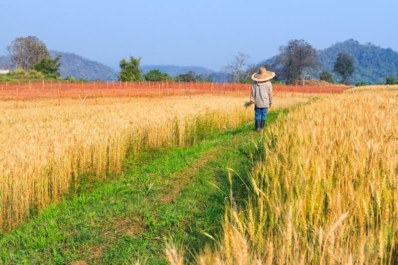 Granjero en el campo de trigo fotografía de archivo libre de regalías