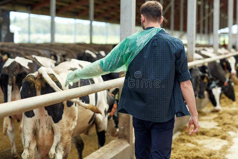 Granjero en guante veterinario con las vacas en la granja lechera foto de archivo