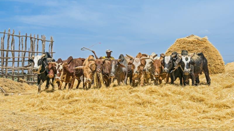 Granjero etíope que usa sus vacas para la cosecha de trilla foto de archivo