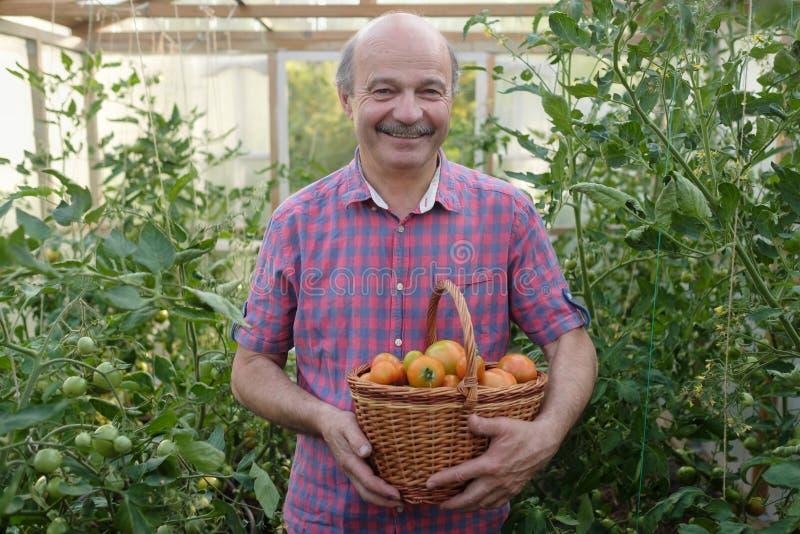 Granjero hispánico mayor que escoge los tomates en una cesta imagen de archivo