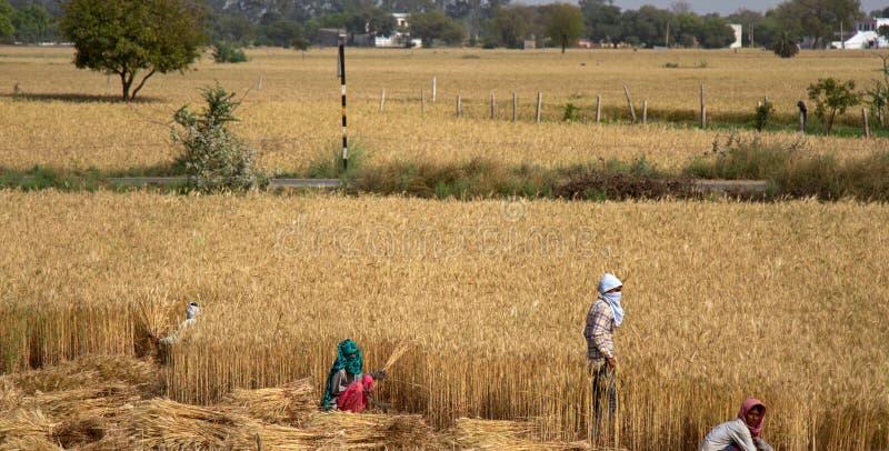 Granjero indio que sostiene la planta cultivada en su campo de trigo imagen de archivo libre de regalías