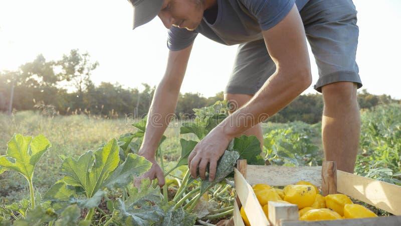 Granjero joven que cosecha una calabaza del arbusto en la caja de madera en el campo de la granja orgánica fotografía de archivo
