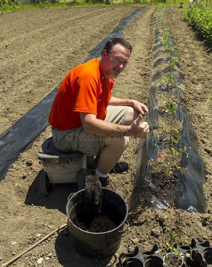 Granjero orgánico feliz After Finishing una fila de las plantas de tomate fotos de archivo libres de regalías