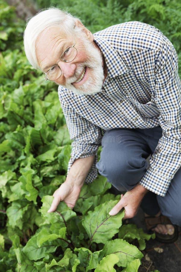 Granjero orgánico que revisa la cosecha de las remolachas fotos de archivo