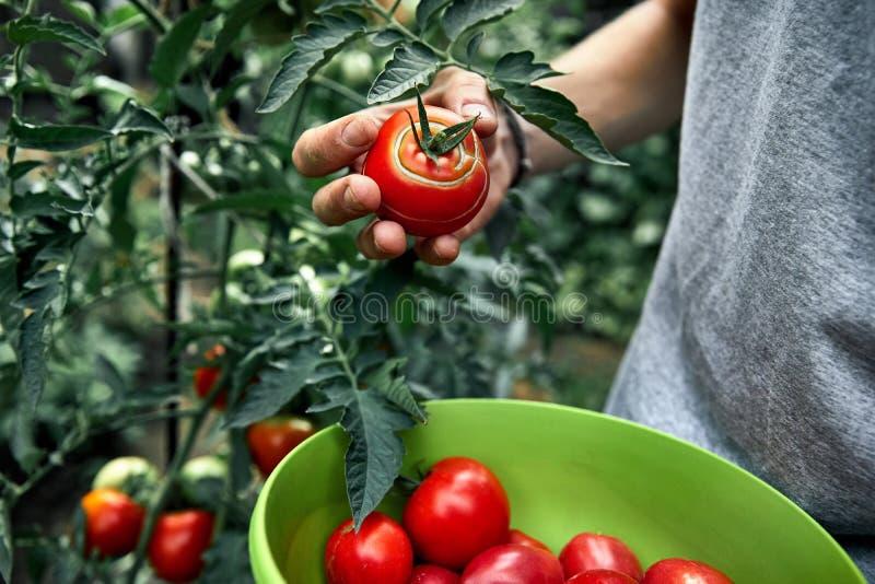 Granjero Picking Tomatoes foto de archivo
